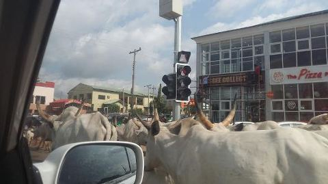 Plane Aborts Landing As Cows Take Over Owerri Airport Runway